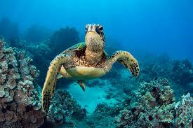 Sea Turtles Traveling in Open waters
