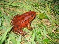 California-red-legged-frog