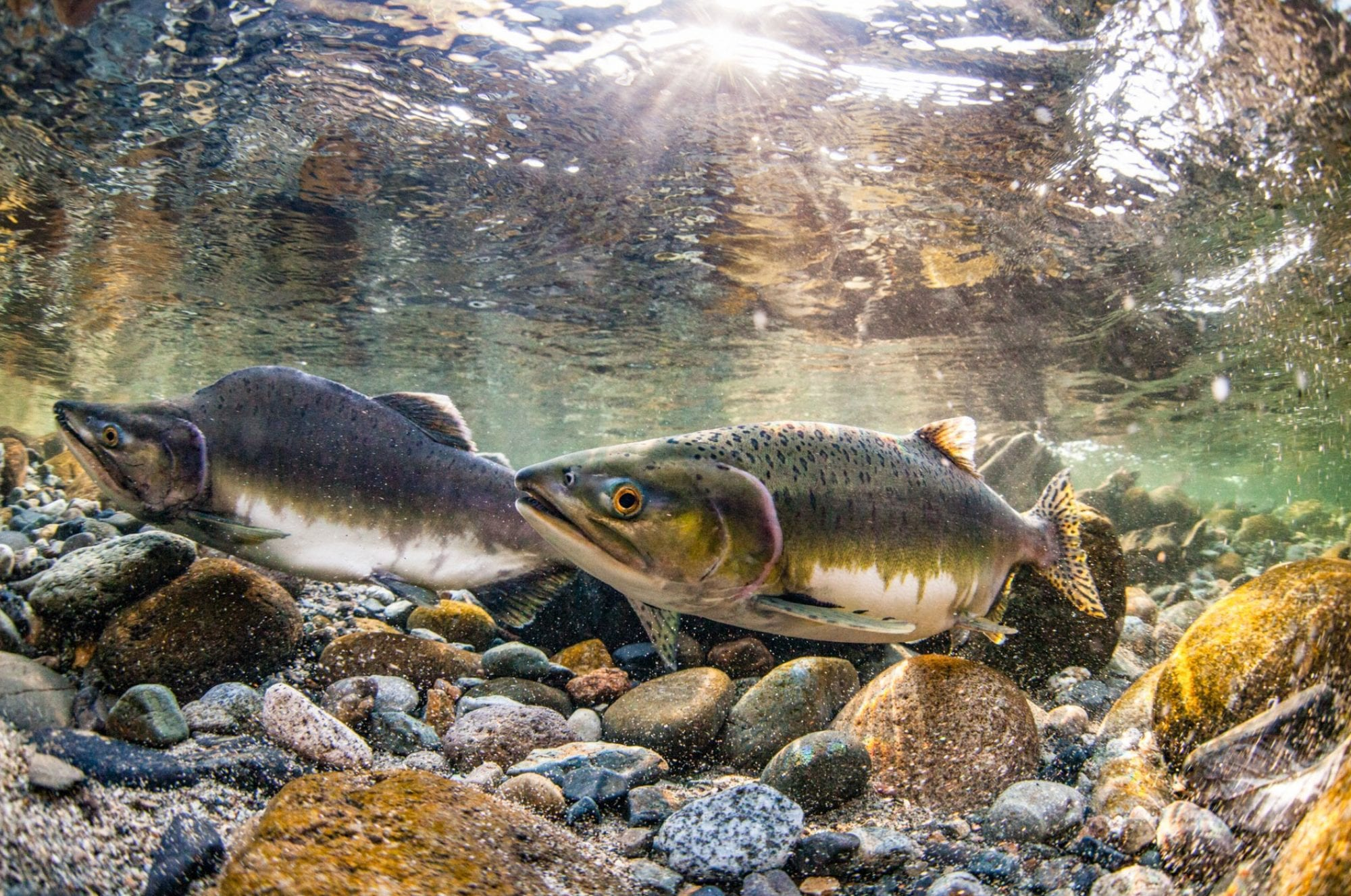 Salmon-river-facts