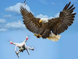 Eagle-attacks-drone-drops-in-lake