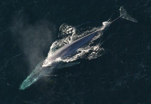 blue-whale-endangered.