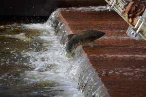 salmon-jumping-dam