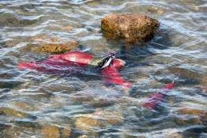 salmon-photo-river