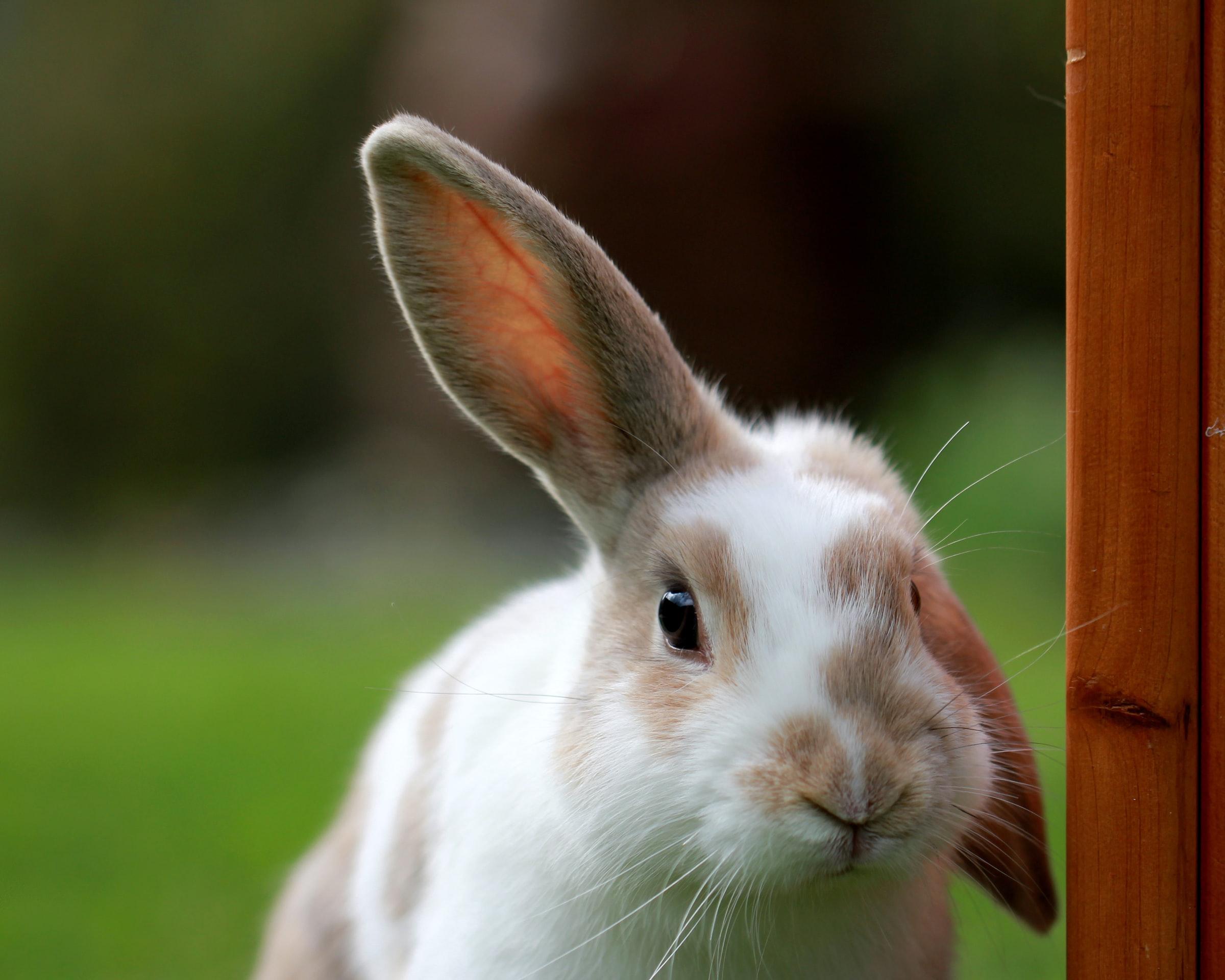 floppy-eared-easter-bunny