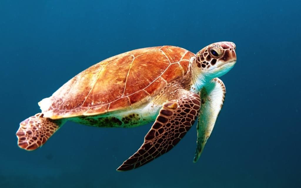 loggerhead-turtle-jekyll-island