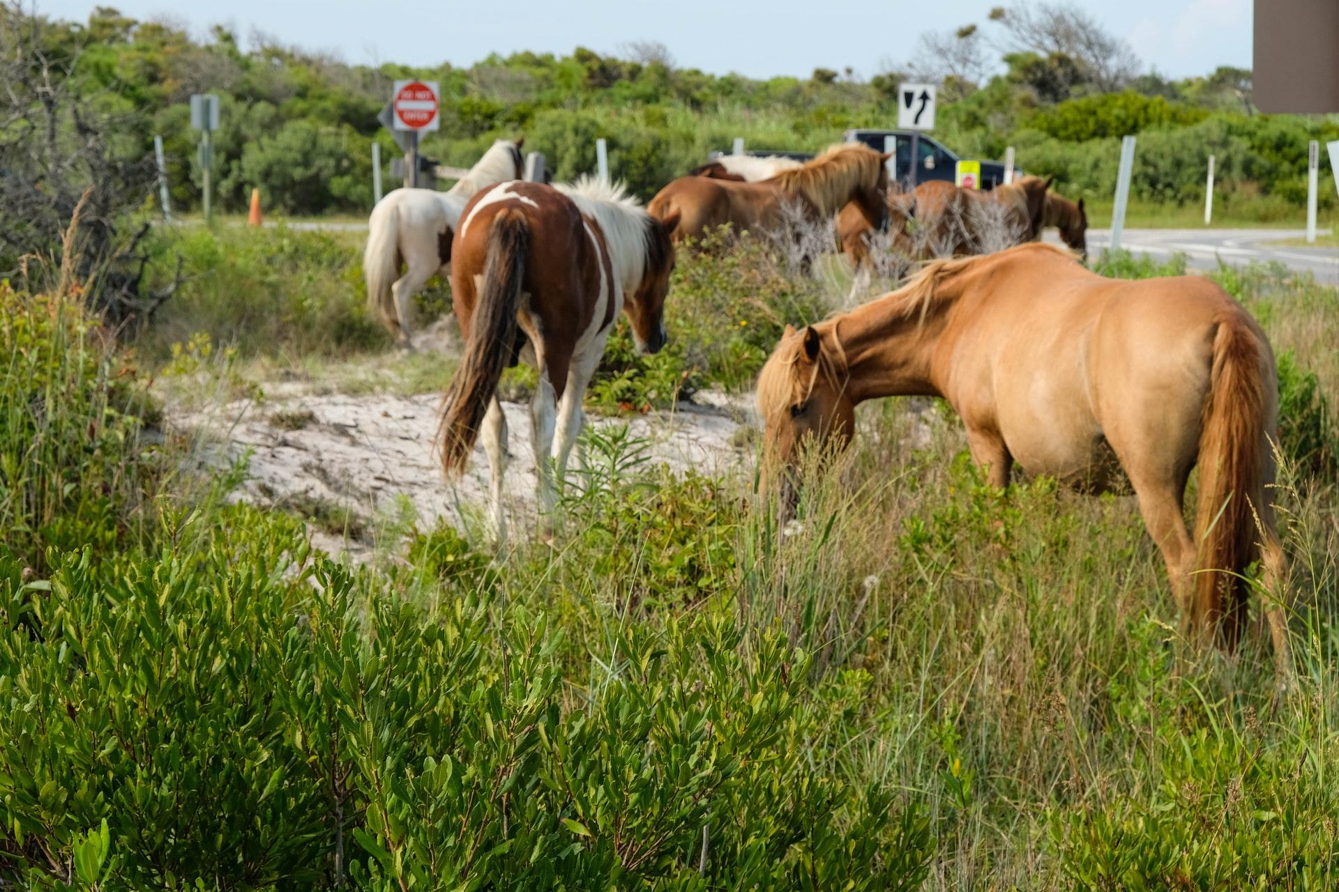 ponies-roam-beach-on-assateague-island