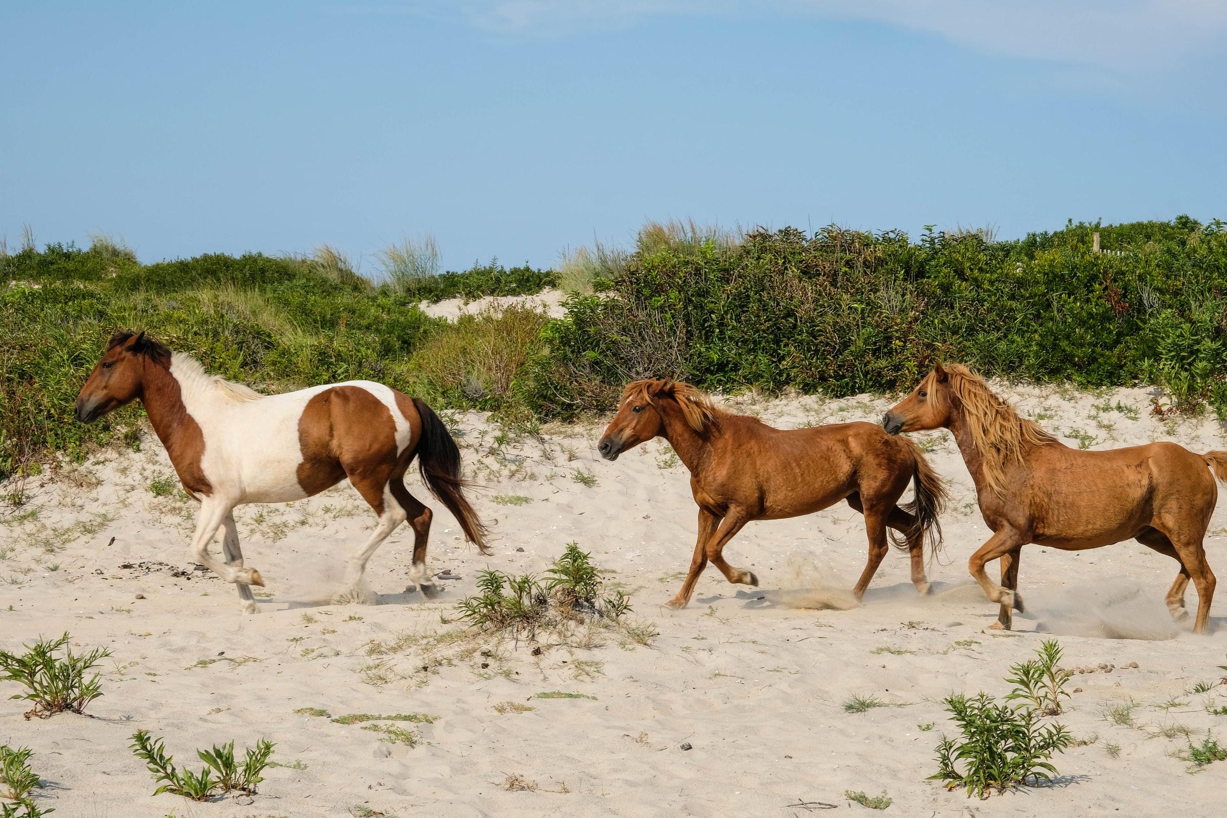 wild-ponies-on-assateague-island