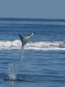 sting-ray-airborn-above-the-ocean.jpg